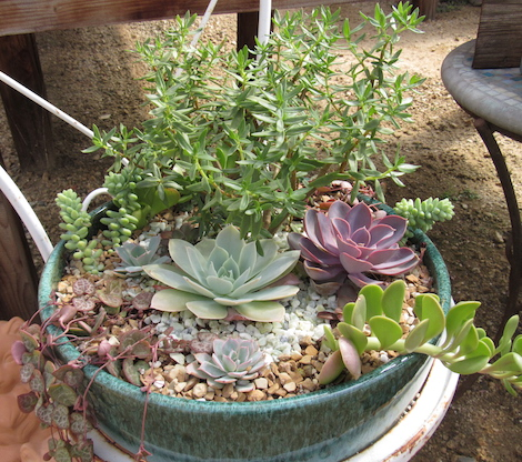 Diy succulent container garden mendakota pediatrics ltd - How to make a succulent container garden ...